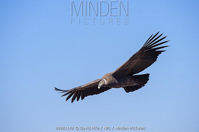 Andean condor (Vultur gryphus) juvenile, Farellones, Chile.