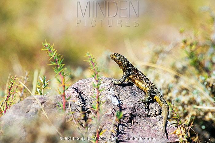 Lizard (Liolaemus bellii), Farellones, Chile. Endemic.