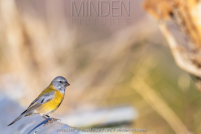 Grey-hooded sierra finch, (Phrygilus gayi), Farellones, Chile.