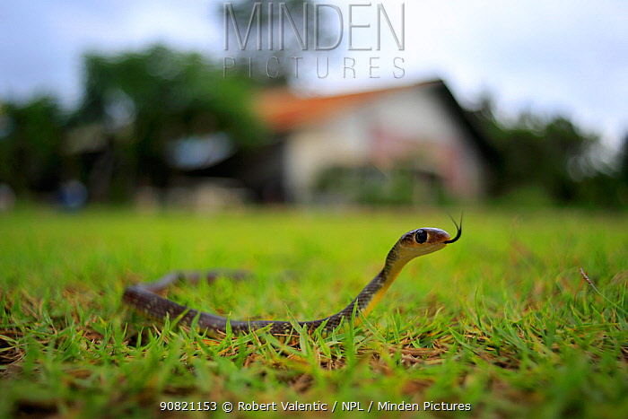 Indochinese rat snake (Ptyas korros) in garden, Koh Chang, Thailand.