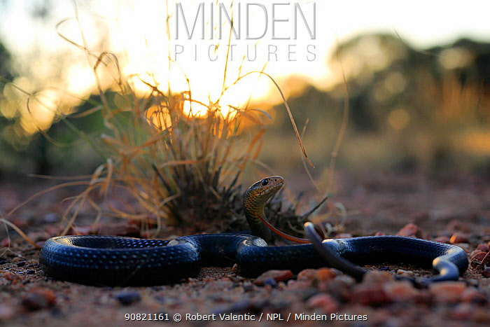 Lesser black whipsnake (Demansia vestigiata) at sunset, Normanton, Gulf of Carpenteria, north-western Queensland, Australia. Wet season.