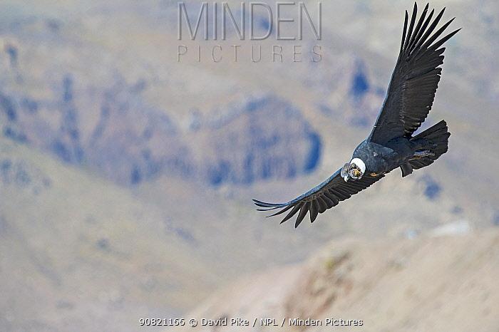 Andean condor, (Vultur gryphus), Farellones, Chile.