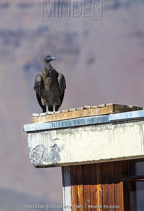 Andean condor, (Vultur gryphus), on building, Farellones, Chile.