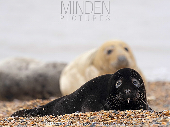 Rare melanistic Grey seal (Halichoerus grypus) pup, Horsey, Norfolk, England, UK, February. Less than one in 400 pups born annually are melanistic, usually the pups are a creamy white in colour.