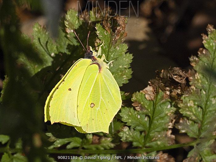 Common brimstone butterfly (Gonepteryx rhamni) male North Norfolk, England, UK. February