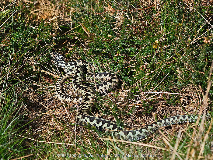 Common European adder (Vipera berus) two males fighting over a female, Holt, North Norfolk, England, UK. April.
