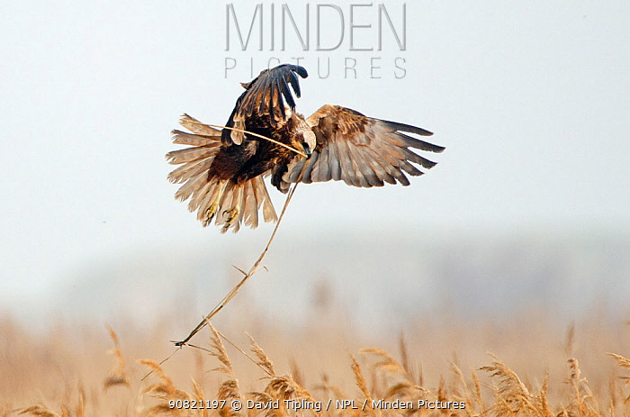 Western marsh harrier (Circus aeruginosus) female in flight bringing in nest material into reedbed North Norfolk, England, UK. April.