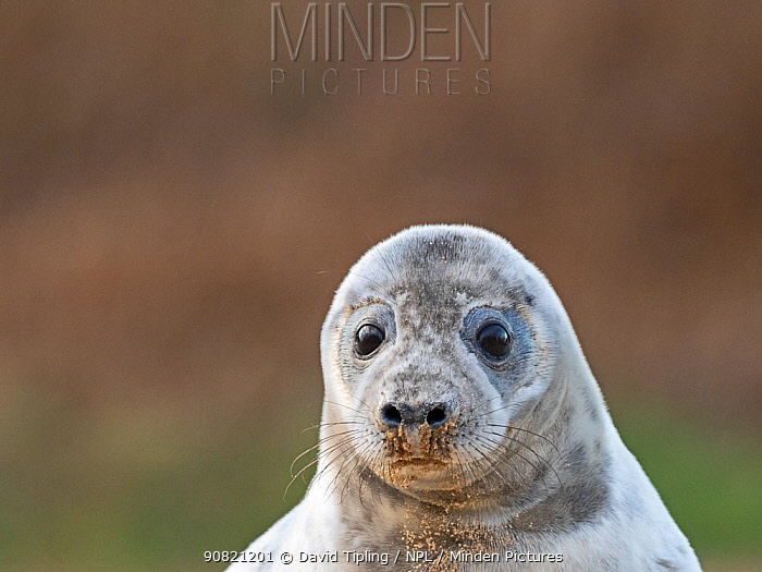 Grey seal (Halichoerus grypus) pup, North Norfolk, England, UK. January.