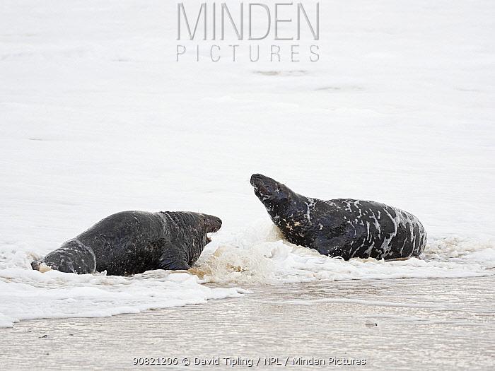 Grey seal (Halichoerus grypus) two bulls fighting in surf, North Norfolk, England, UK. January.