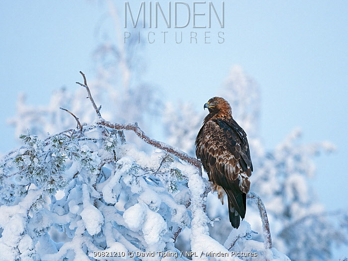 Golden eagle (Aquila chrysaetos) perched on snowy branch, northern Finland. January.