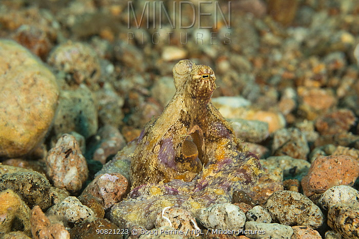 Algae octopus (Abdopus aculeatus) camouflaged against pebbles on sea floor. Dumaguete, Negros Oriental, Philippines.