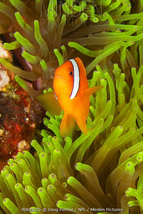 Tomato clownfish (Amphiprion frenatus) male swimming above Magnificent sea anemone (Heteractis magnifica). Puerto Galera, Mindoro Island, Philippines, Tayabas Bay.