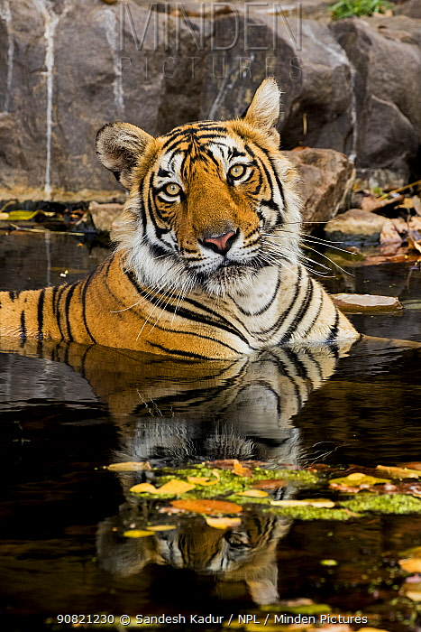 Bengal tiger (Panthera tigris) cooling down in waterhole, portrait. Ranthambore National Park, India.