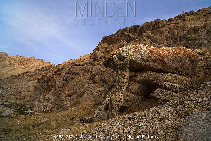 Snow leopard (Unica unica) scent marking against boulder in rocky landscape in Himalayas. Ule, Ladakh, India. March 2018. Sequence 2/2.