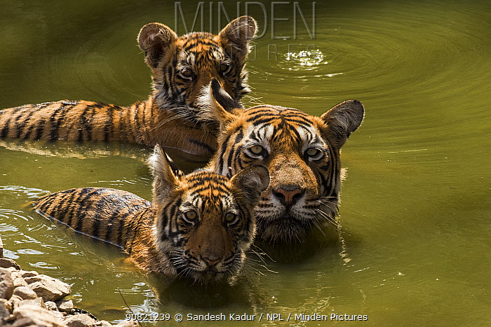Bengal tiger (Panthera tigris) female and cubs swimming in pond. Ranthambore National Park, India.