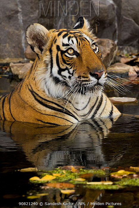 Bengal tiger (Panthera tigris) submerged in water. Ranthambore National Park, India.