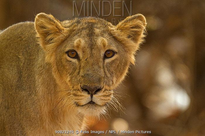 Asiatic lion (Panthera leo persica) lioness, portrait. Gir National Park, Gujarat, India. Photo Phillip Ross/Felis Images