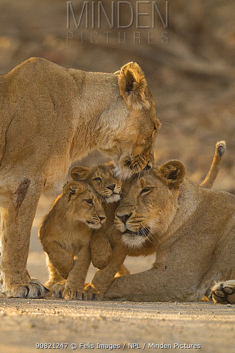 Asiatic lion (Panthera leo persica), two females and two cubs. Gir National Park, Gujarat, India. Photo Phillip Ross/Felis Images