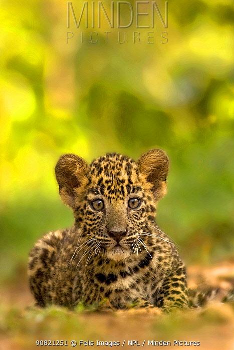 Indian leopard (Panthera pardus fusca) cub, portrait. Nagarhole National Park, India. Photo Phillip Ross/Felis Images