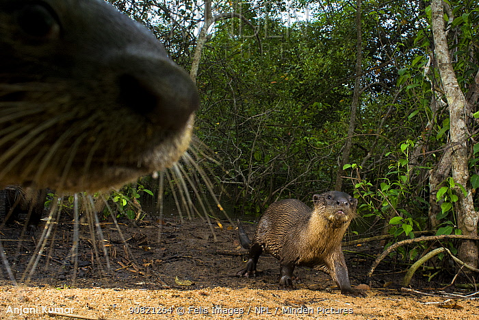 Smooth-coated otter (Lutrogale perspicillata), two at edge of forest. Otter walking, out of focus otter nose in foreground. Andhra Pradesh, India. Photo Anjani Kumar/Felis Images