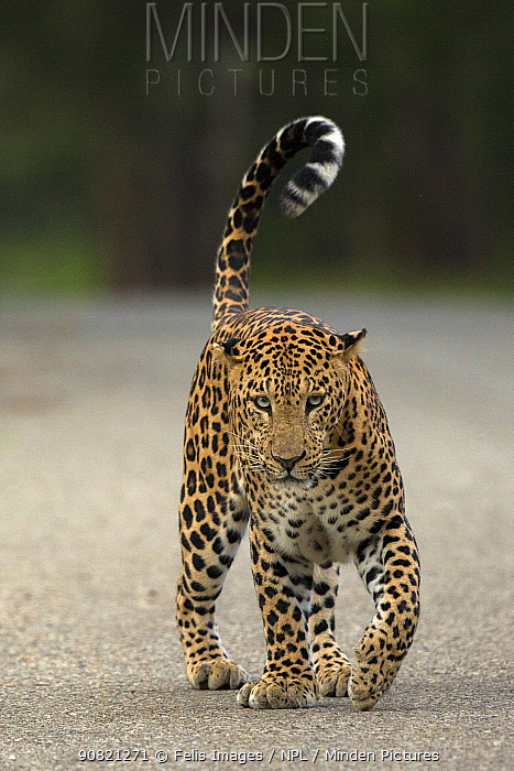 Indian leopard (Panthera pardus fusca) walking along road, tail in air. Nagarhole National Park, India. Photo Phillip Ross/Felis Images