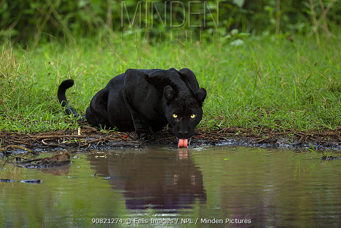 Melanistic leopard / Black panther (Panthera pardus fusca) drinking, reflected in water. Nagarhole National Park, India. Photo Phillip Ross/Felis Images