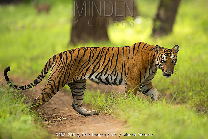 Bengal tiger (Panthera tigris) walking across track. Nagarhole National Park, India. Photo Phillip Ross/Felis Images