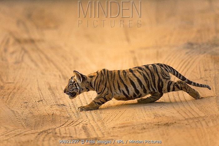 Bengal tiger (Panthera tigris) cub stalking. Bandhavgarh National Park, Madhya Pradesh, India. Photo Phillip Ross/Felis Images