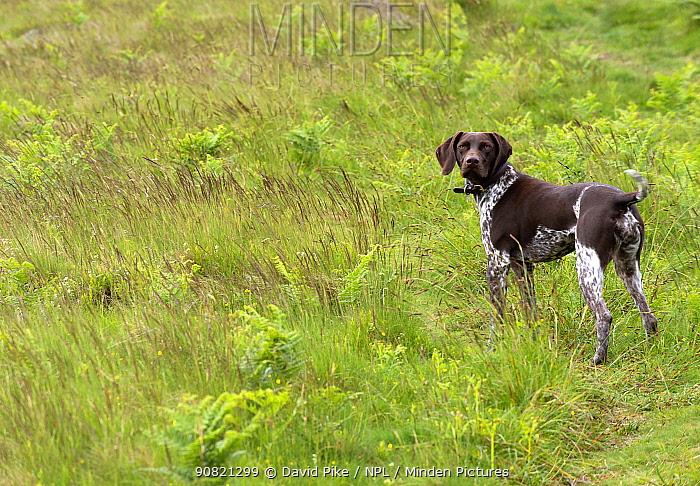 German short-haired pointer standing in grassland.
