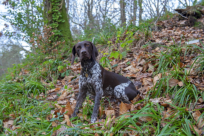 German short-haired pointer sitting in woods. England, UK. December.
