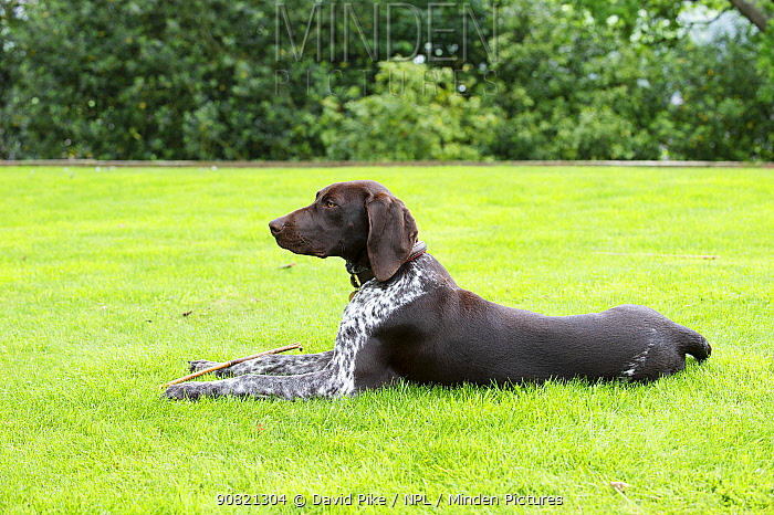 German short-haired pointer lying down on lawn.