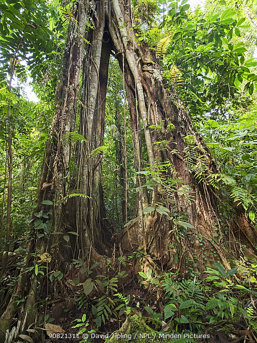 Strangler fig (Ficus sp) growing up emergent tree in tropical rainforest. Nara, Makira Island, Solomon Islands.