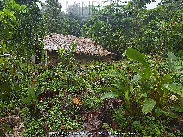 Forest garden with fruit and vegetables crops grown including Kumara, Taro, Bananas and Spring onions. House in background. Nara, Makira Island, Solomon Islands. 2019.