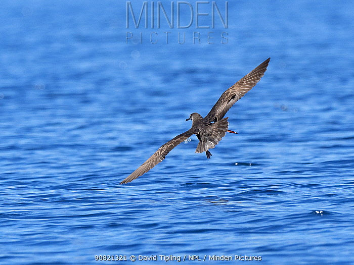 Heinroth's shearwater (Puffinus heinrothi) flying over sea. Savo Island, Solomon Islands.