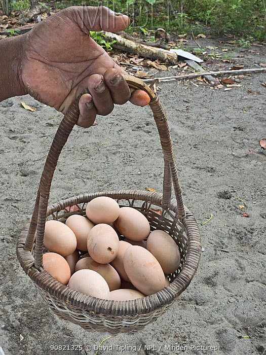 Basket of Melanesian megapode (Megapodius eremita) eggs harvested from nesting ground. Savo Island, Solomon Islands.