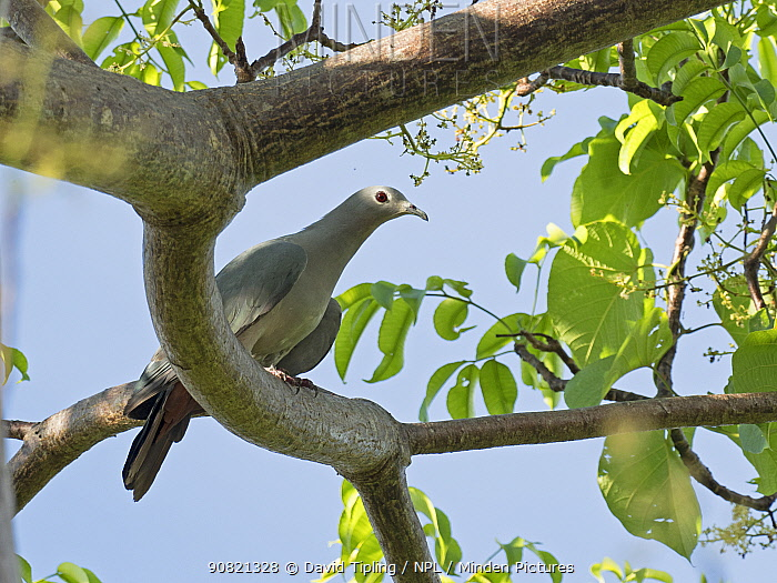 Island imperial pigeon (Ducula pistrinaria) perched in tree. Solomon Islands.