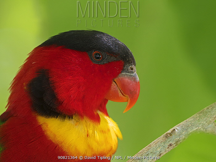 Yellow-bibbed lory (Lorius chlorocercus) head profile portrait. New Georgia, Solomon Islands.