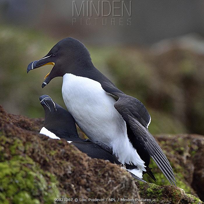 Razorbil (Alca torda) pair mating. Hornoya Island, Varanger, Norway. May.