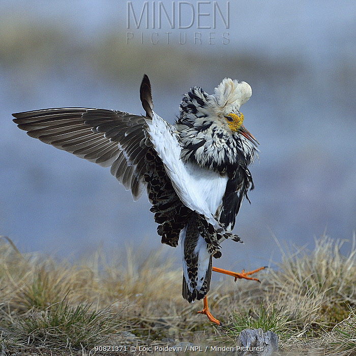 Fight, Males, Varenger,Norway,May