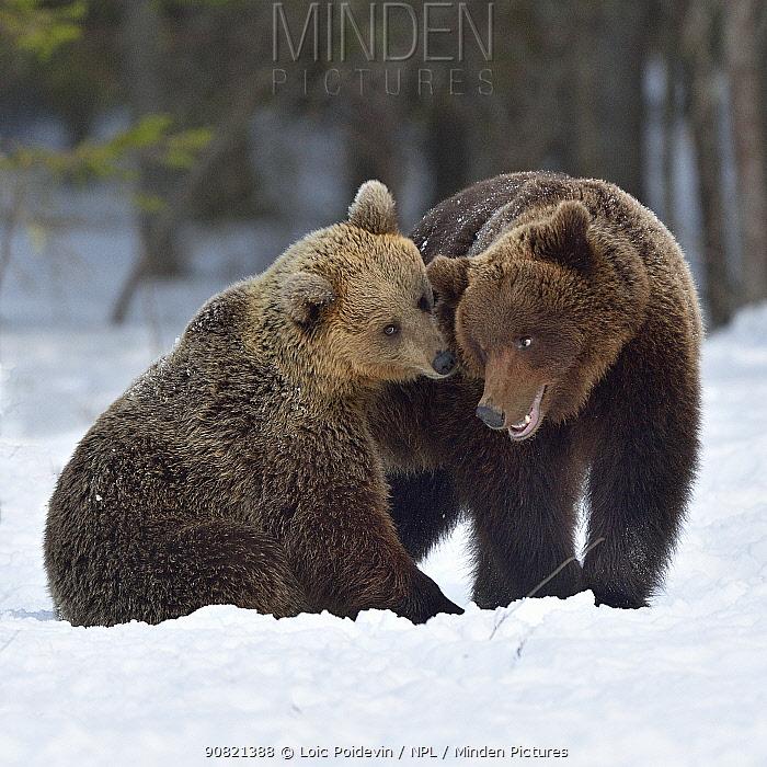 Brown bear (Ursus arctos) pair nuzzling after mating. Finland. May.