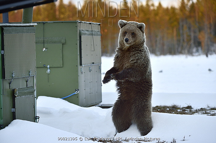 Brown bear (Ursus arctos) standing on hind legs in snow, next to wildlife watching hides. Finland. May.