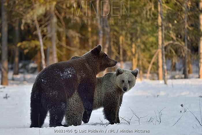 Brown bear (Ursus arctos) pair mating. Finland. May.