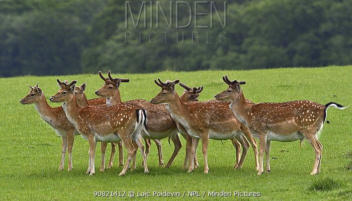 Fallow deer (Dama dama) bucks in grassland. Jaegersborg Dyrehave / Deer Park, Denmark. May.