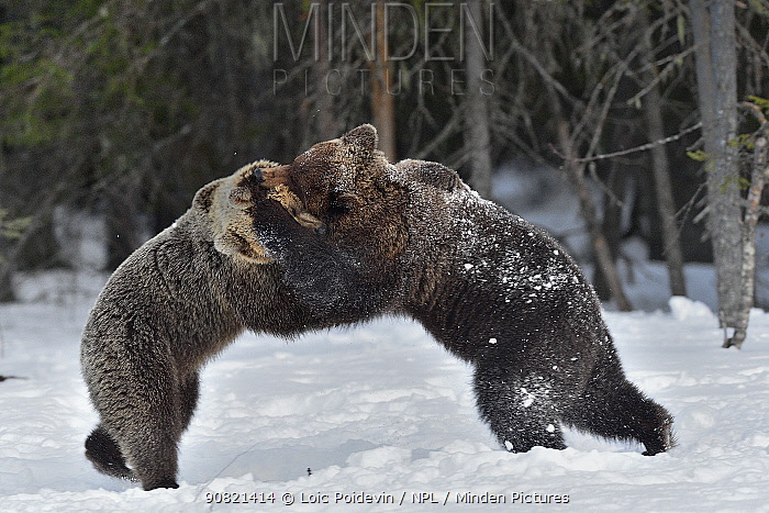 Brown bear (Ursus arctos) mating pair play fighting Finland. May.
