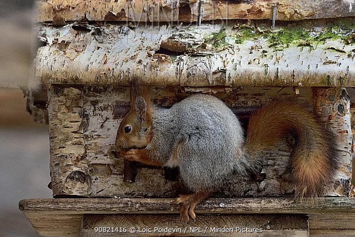 Red squirrel (Sciurus vulgaris) feeding. Finland. May.