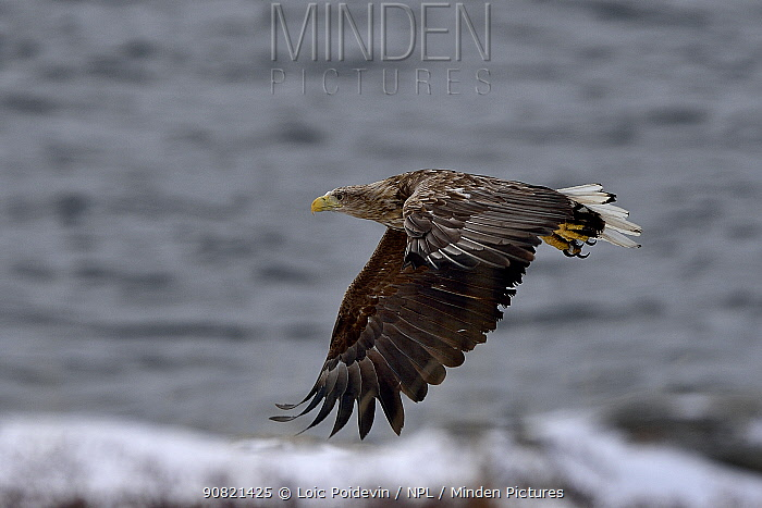 White-tailed eagle (Haliaeetus albicilla) in flight at coast. Varanger, Norway. May.