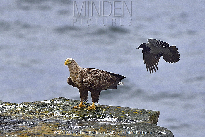 Hooded crow (Corvus cornix) mobbing White-tailed eagle (Haliaeetus albicilla) standing on coastal rock. Varanger, Norway. May.