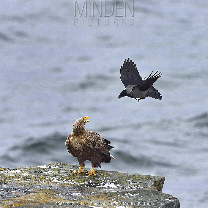 Hooded crow (Corvus cornix) mobbing White-tailed eagle (Haliaeetus albicilla) standing on coastal rock. Varanger, Norway. May. Small repro only