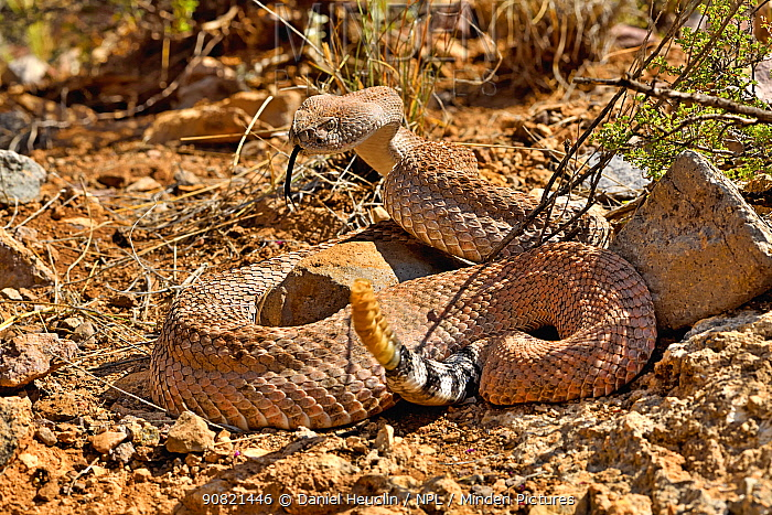 Western diamondback rattlesnake (Crotalus atrox) with rattle raised, Arizona, USA. Controlled conditions.