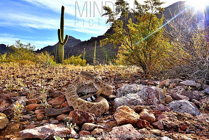 Western diamondback rattlesnake (Crotalus atrox) camouflaged amongst rocks, with rattle raised. Sonoran Desert, Arizona, USA. Controlled conditions. June 2019.